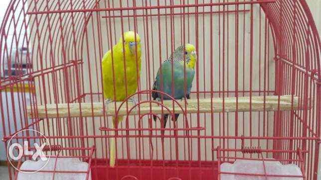 Birds This couples we are selling in 15 bd with its cage