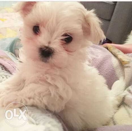 Maltese Puppy Aailable for Sale