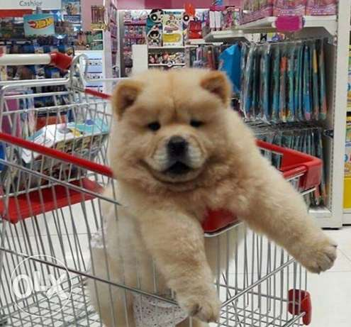 chow chow for sale ( female )