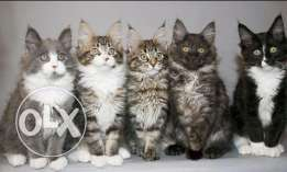 Giant cats maine coon for sale