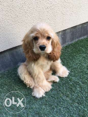 American Cocker Spaniel puppy (female)