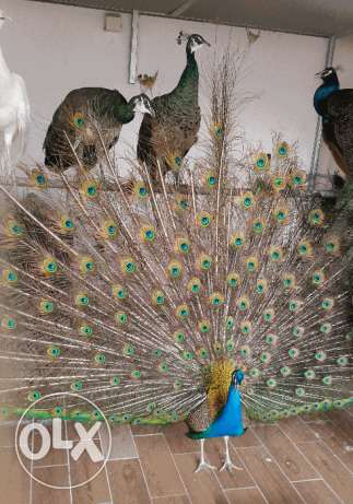 Peacock (Indian colored & White)