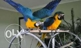Talking pair of blue and gold macaw birds