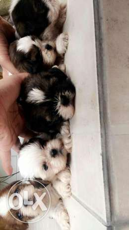 8 weeks old shihtzu puppies