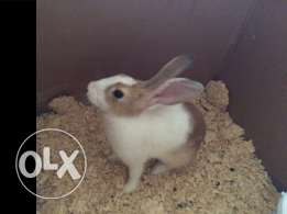 for sale female rabbit