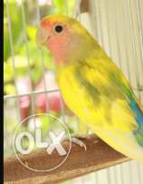 Love bird female for sale with cage and nest box