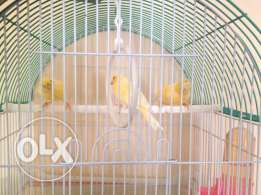 For sale canary female and male