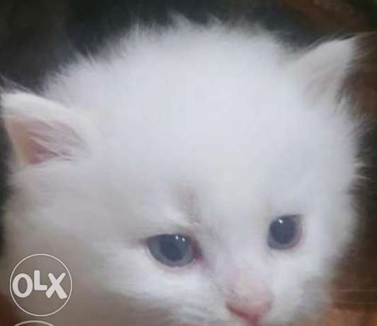 Persian kitten looking for new home