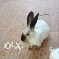 For sale rabbit
