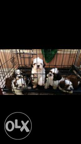 pure shihtzu puppies 2 months old 150 BD Only