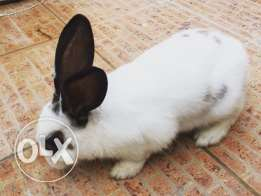 Playful rabbit for sale