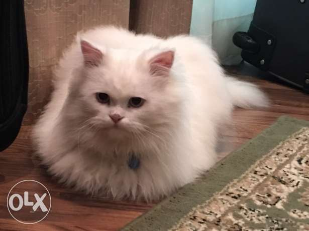 Persian cat (male)